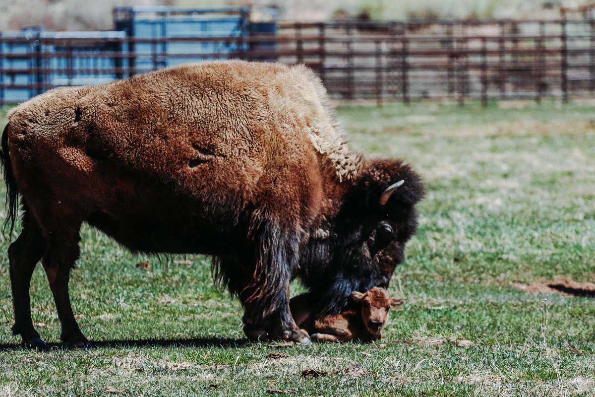 The baby bison with her mother