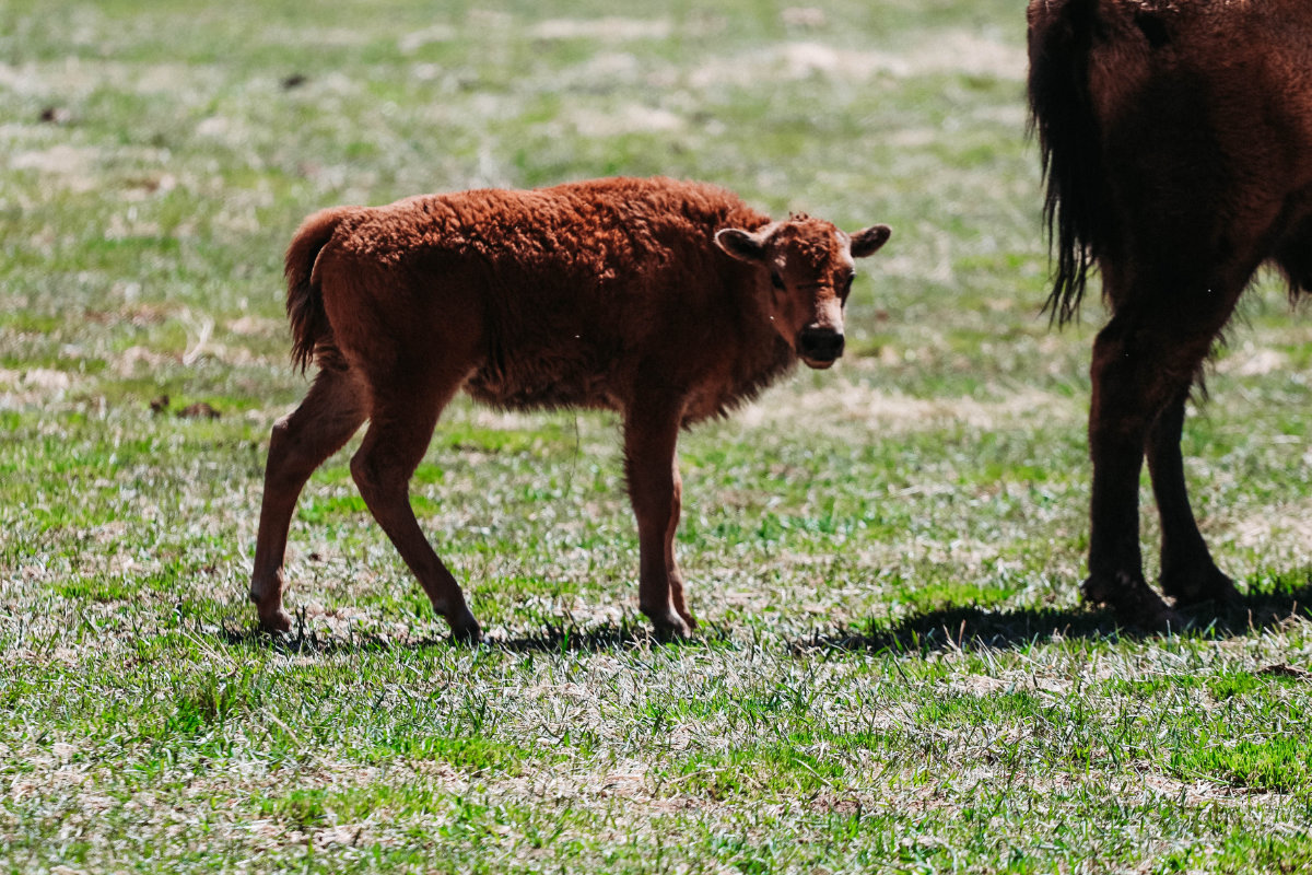 The baby bison looking directly into the camera