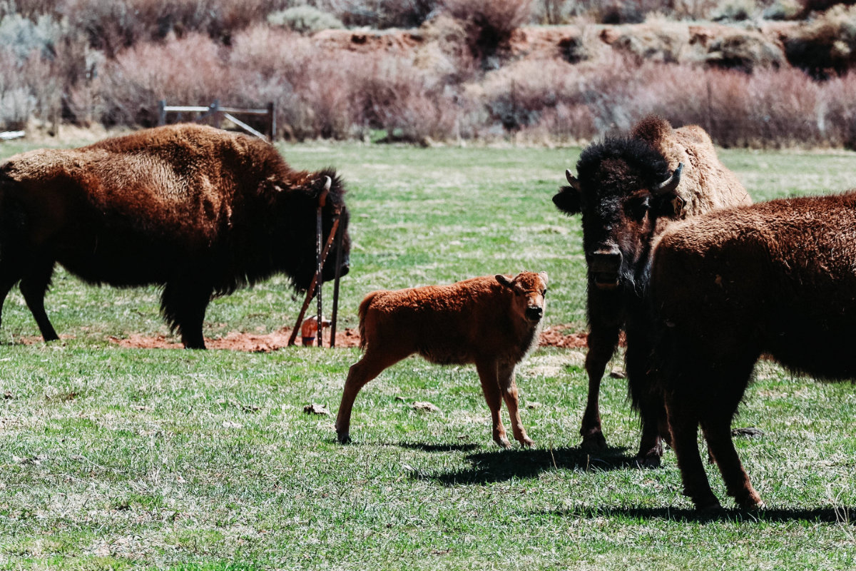 """The baby bison standing with the herd"