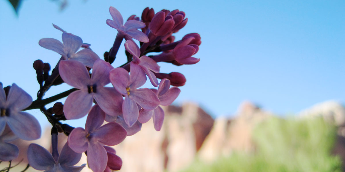 A blossoming fruit tree in the foreground with red cliffs behind