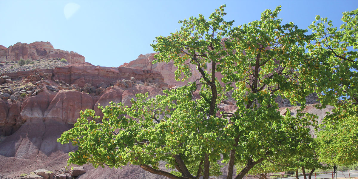 One of the trees in the Fruita orchard