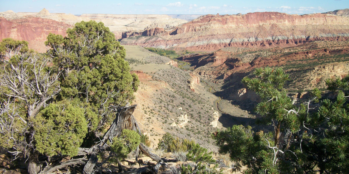 Juniper trees in the foreground with a view of a canyon in the back