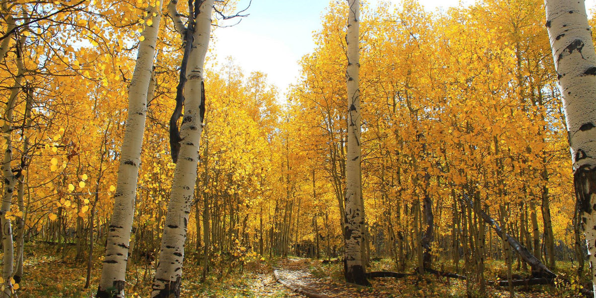 A grove of yellow aspens