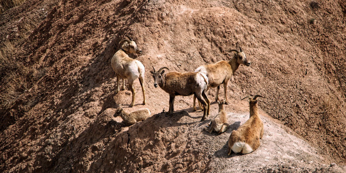 A group of bighorn sheep congregate on hill